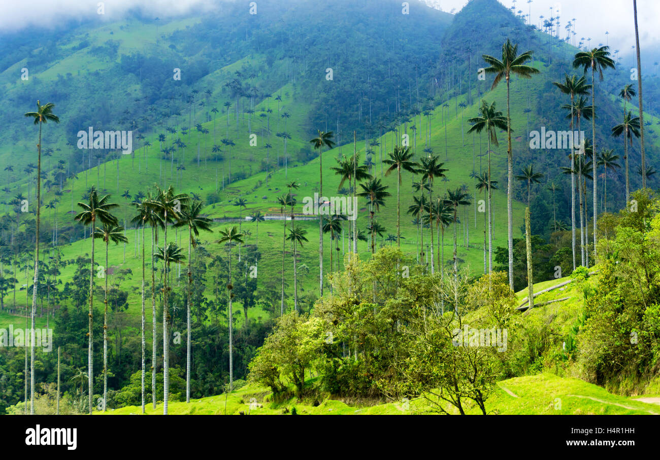 Landscape of wax palm trees in cocora valley in colombia for Wax landscape