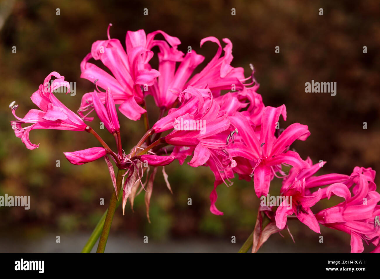 Red pink flowers of the vigorous autumn flowering hybrid south red pink flowers of the vigorous autumn flowering hybrid south african bulb nerine zeal giant mightylinksfo Gallery