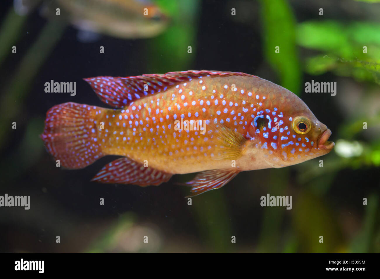 Freshwater jewel fish - African Jewelfish Hemichromis Bimaculatus Also Known As Jewel Cichlid Or Jewelfish Wildlife Animal