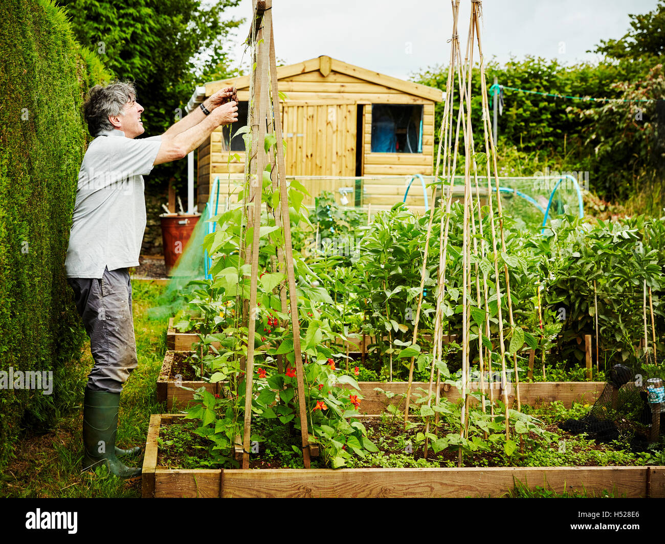 garden poles. a man working in his garden, securing climbing runner bean plants and shoots to poles garden
