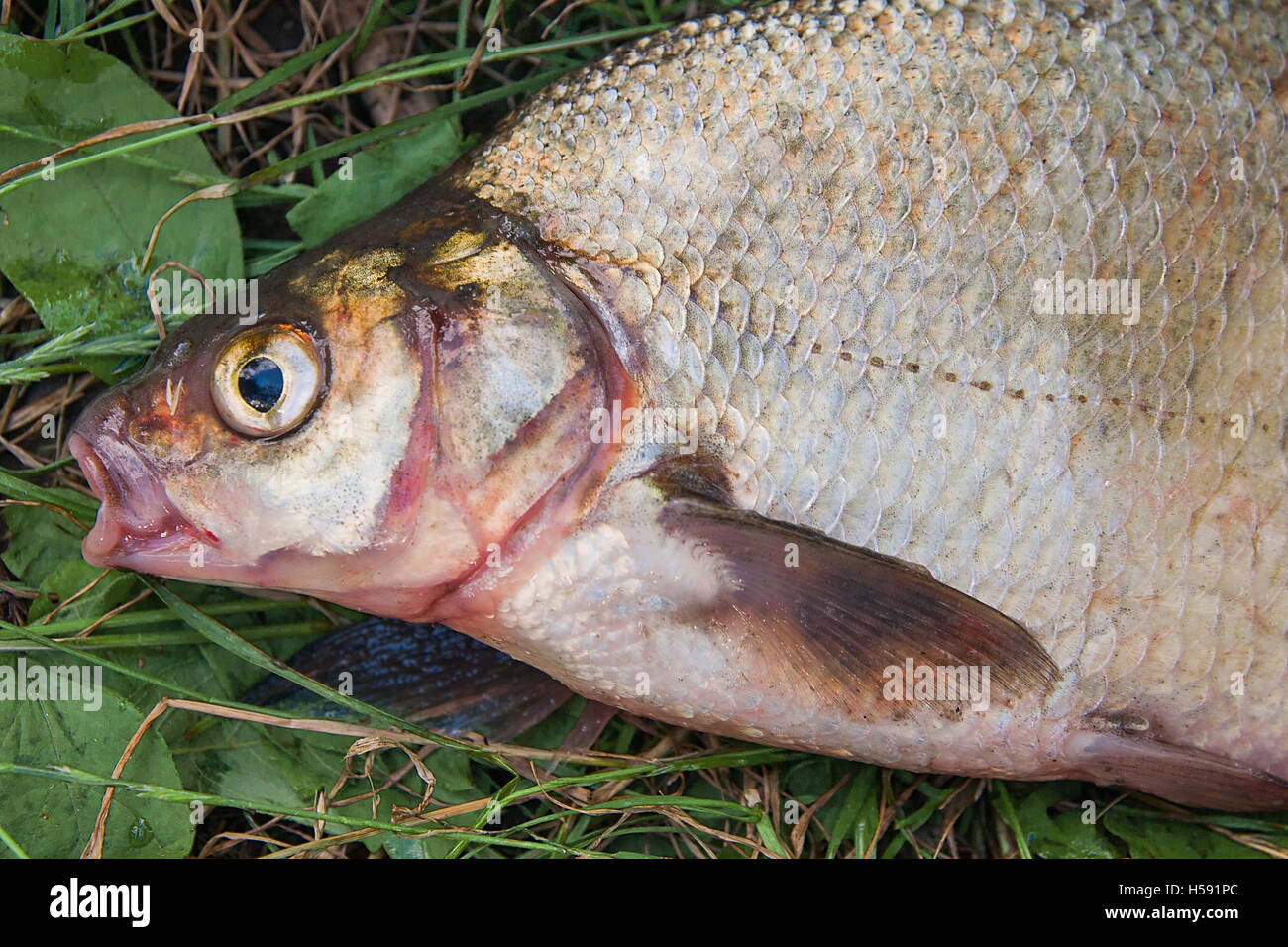 Freshwater fish bream - Freshwater Fish Just Taken From The Water Several Bream Fish On Green Grass Catching Fish Common Bream