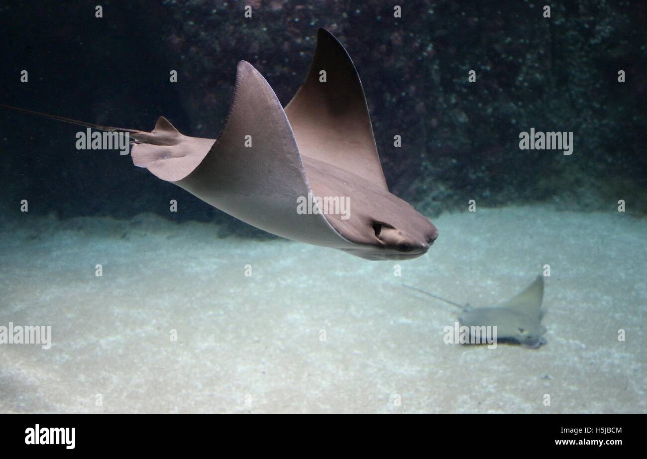 Atlantic Cownose Rays (Rhinoptera bonasus Stock Photo, Royalty ...