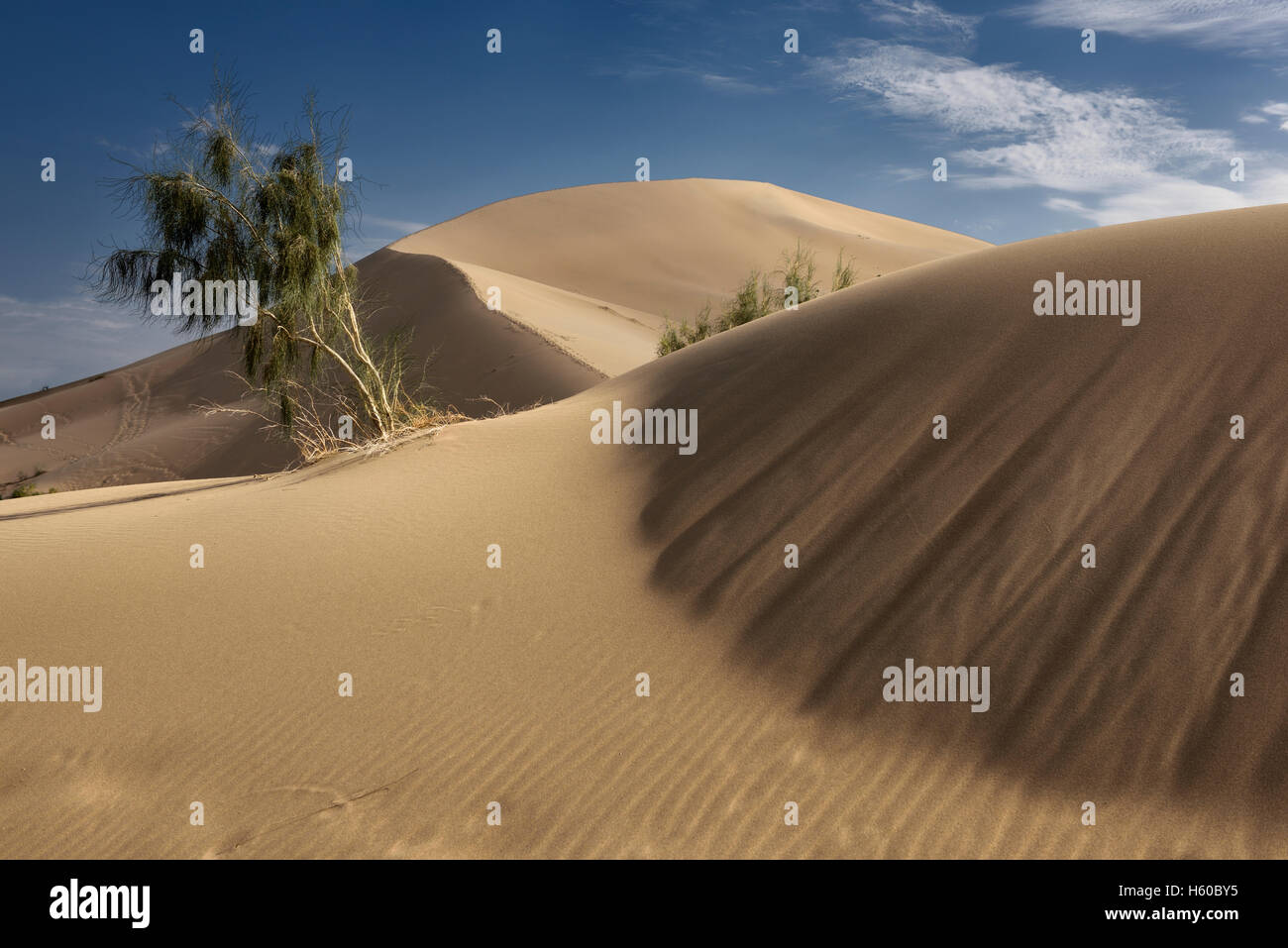Black saxual trees and barchan dunes at Singing Sand Dune ...