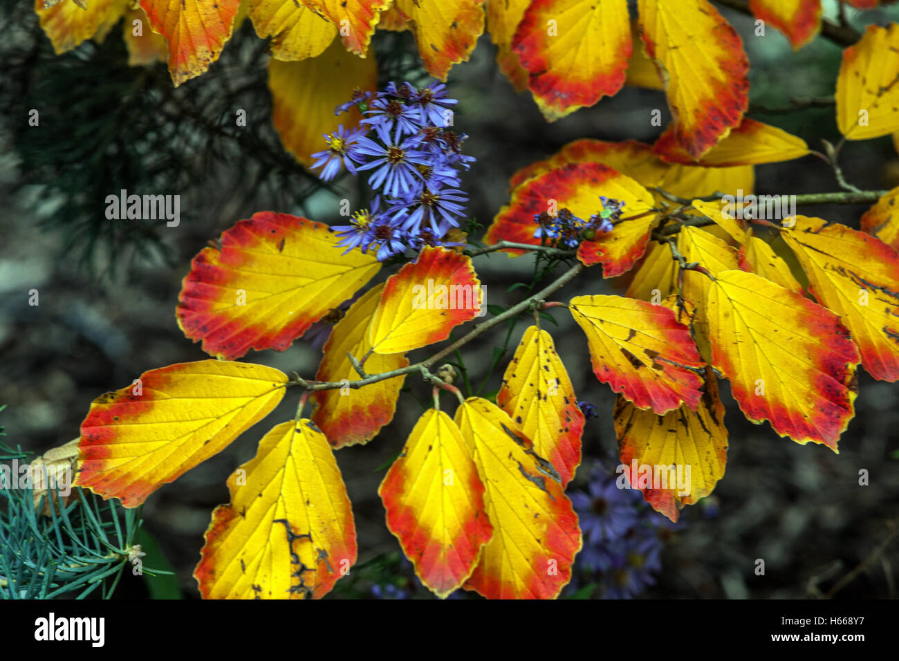 Witch-hazel, Hamamelis intermedia autumn color leaves Stock Photo, Royalty Free Image ...