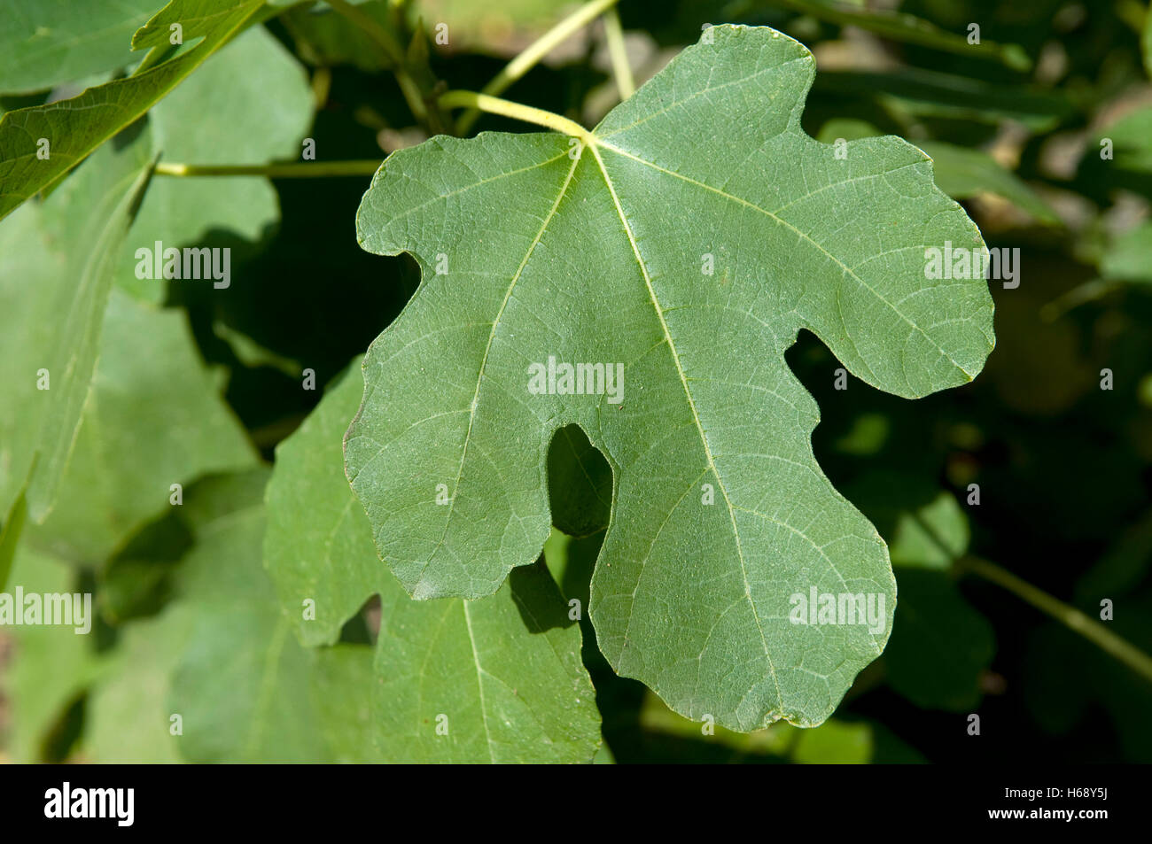 common fig ficus carica leaf stock photo royalty free image