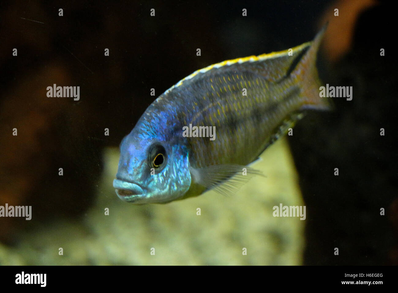 Beautiful colorful fish swims in the aquarium envıronment Stock ...