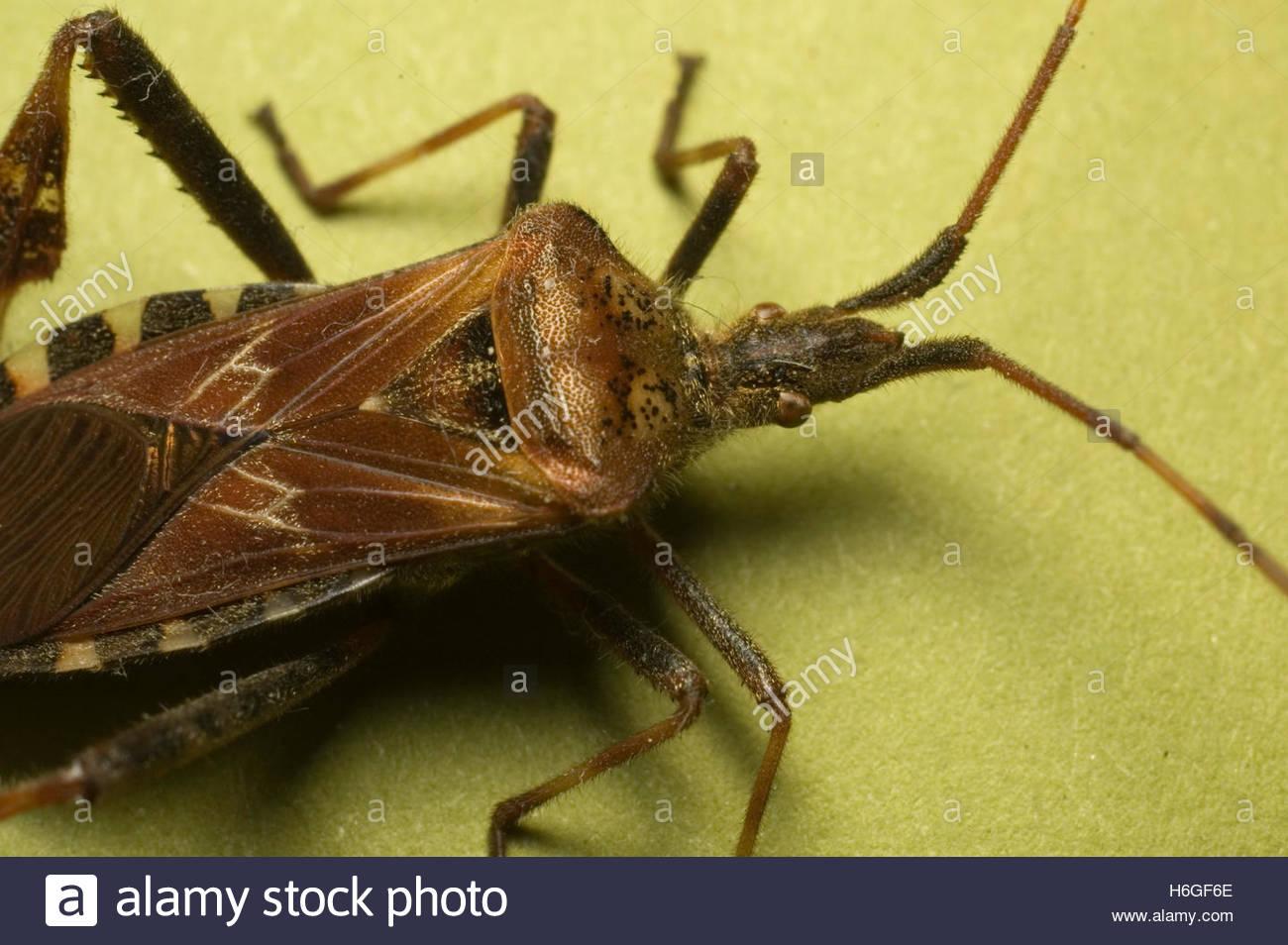 Western Conifer Seed Bug Leptoglossus occidentalis Leaf Footed Bug ...