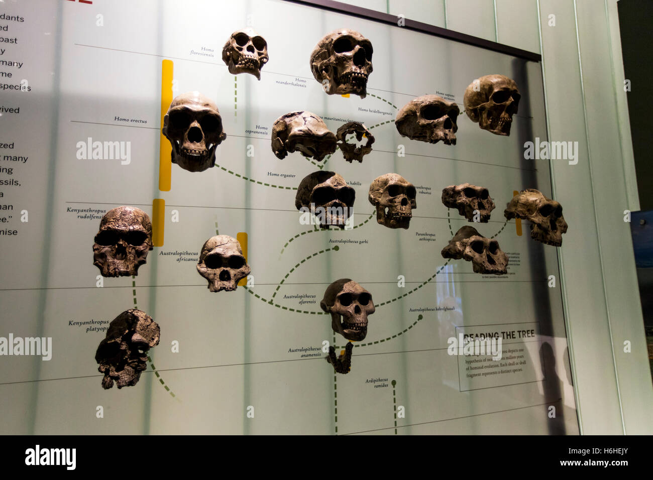 Home evolutions ny - New York Usa Nov 19 Display Showing Human Evolution Through Skulls In The American Museum Of Natural History On November 19