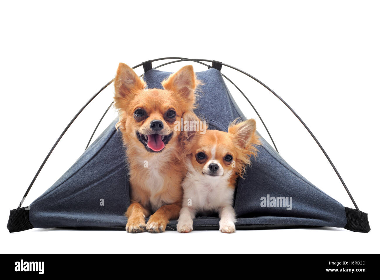 dog dogs adult puppy c&ing tent adults two beautiful beauteously nice holiday vacation holidays vacations animal  sc 1 st  Alamy & Pup Tent Stock Photos u0026 Pup Tent Stock Images - Alamy
