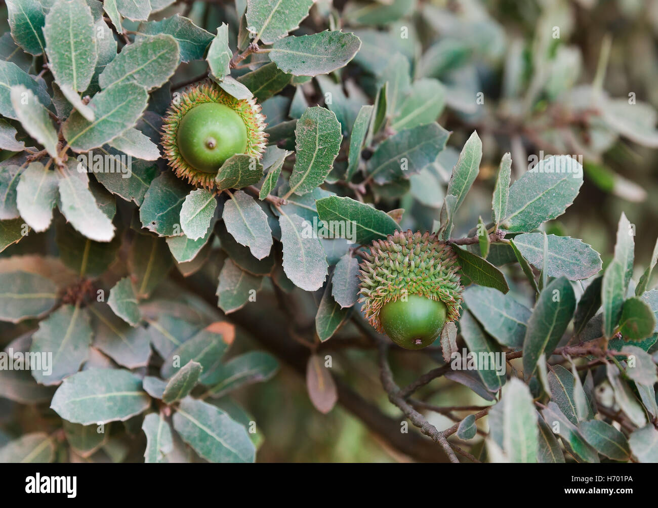 green acorns on the background of oak leaves stock photo royalty