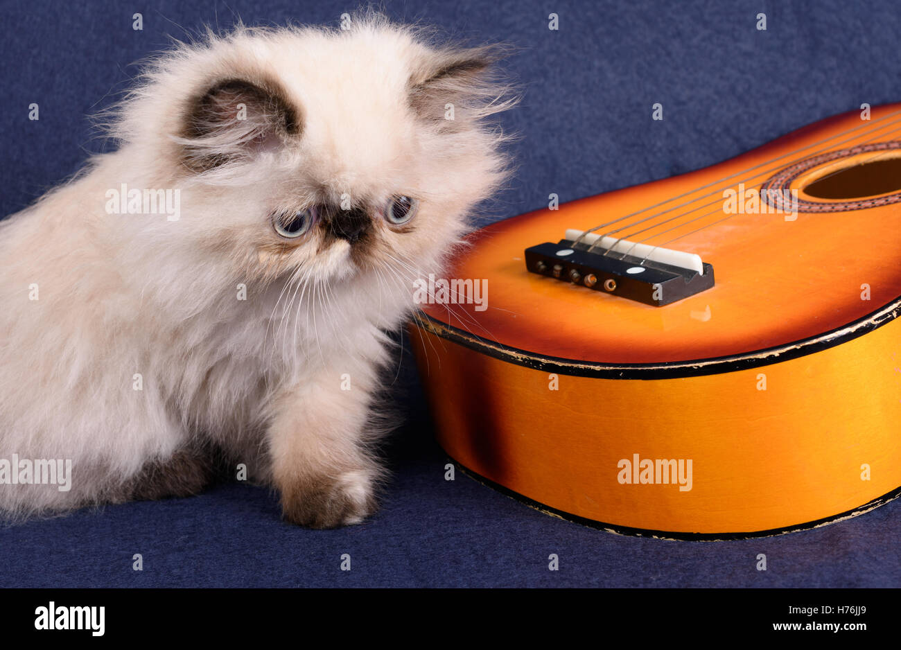 A young two month old Blue Point Himalayan Persian kitten with a