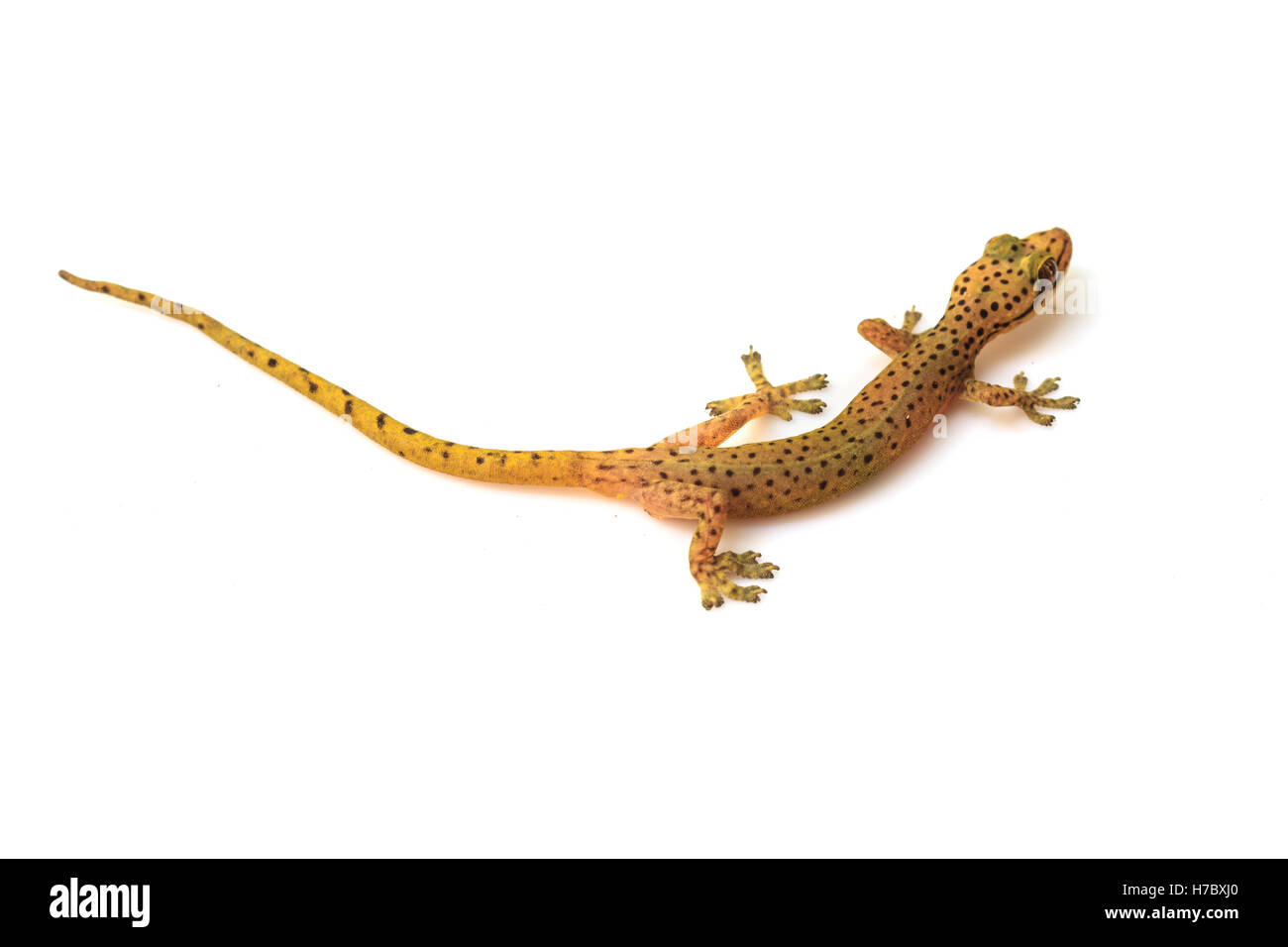 gecko lizard from trpical forest isolated on white background