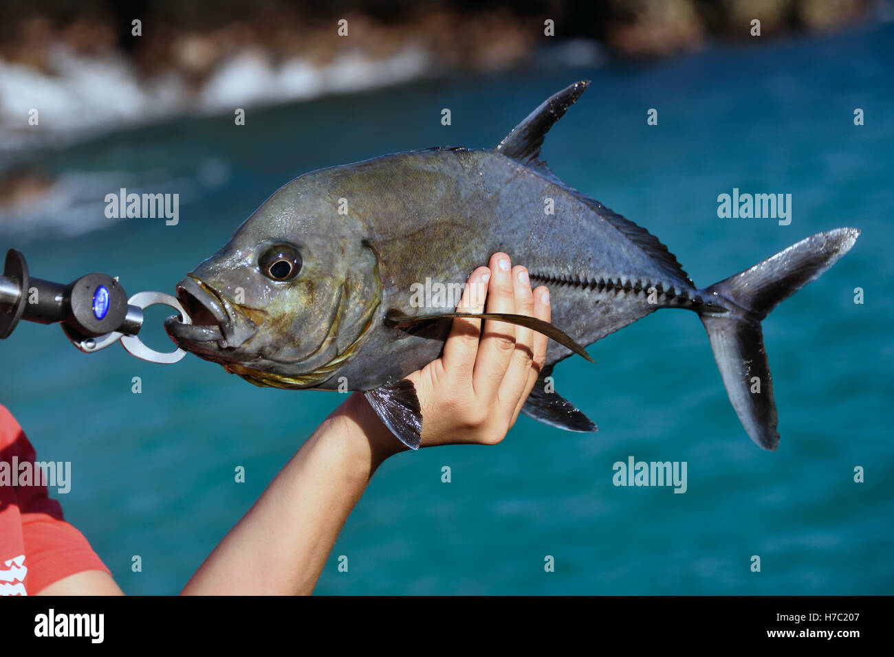 A black jack fish caranx lugubris caught from the beach for What is a jack fish