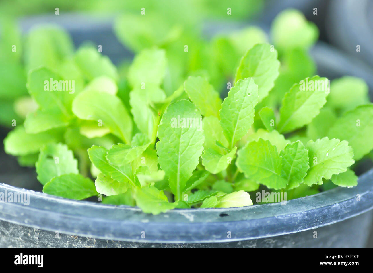 Growing lettuce in a pot - Brassica Juncea Plant Lettuce Plant Or Chinese Mustard Plant In The Pot