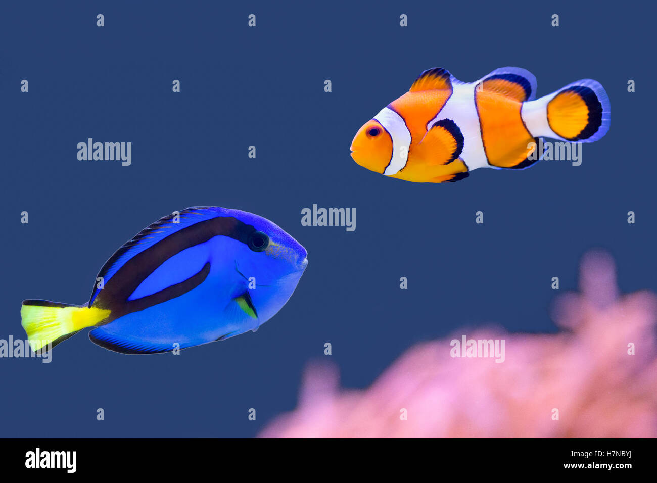 Palette surgeonfish and clown fish swimming together in for Blue clown fish