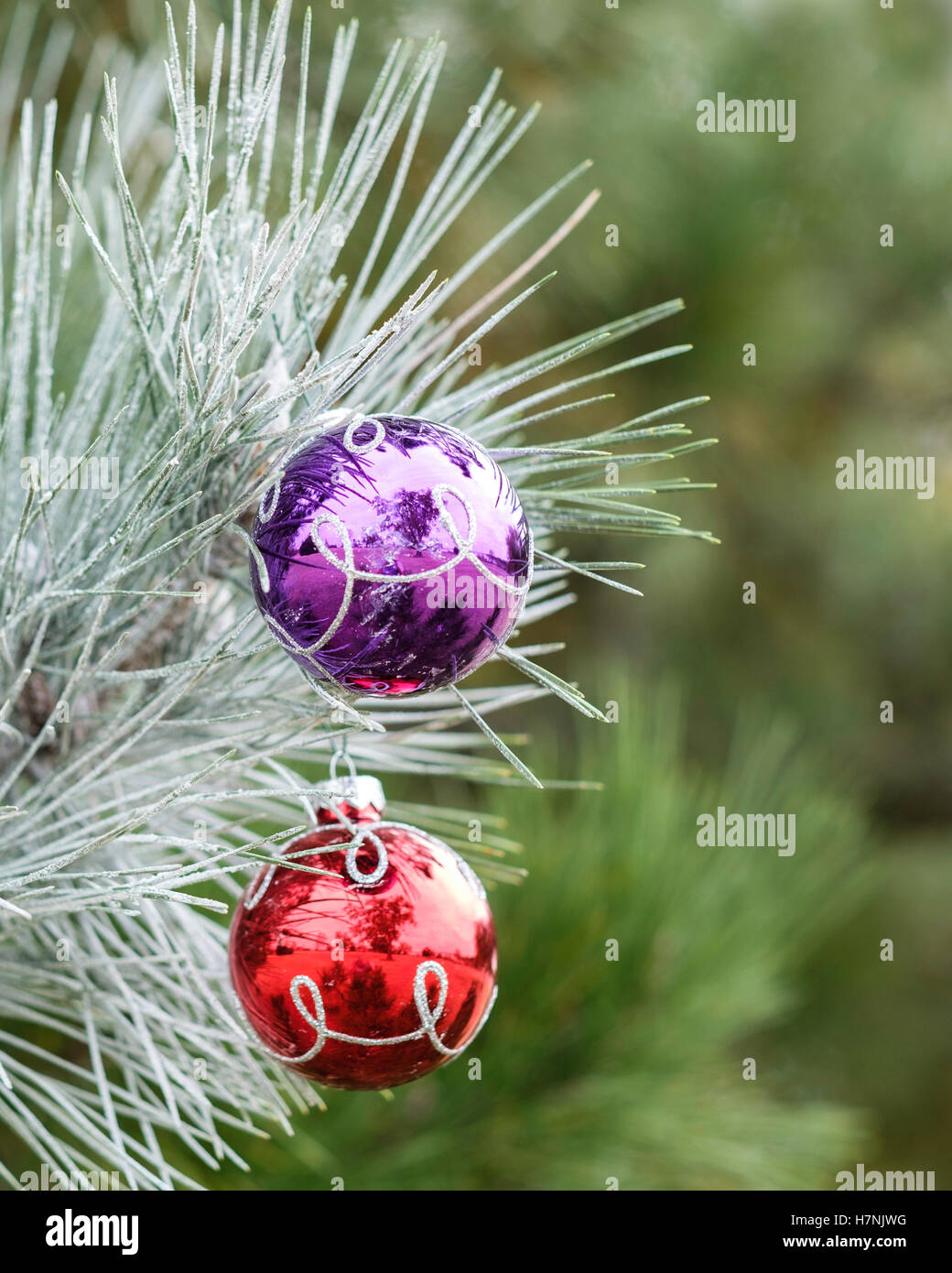 Frosted christmas ornaments - Stock Photo Two Colorful Glass Ball Christmas Ornaments On A Frosted Pine Bough