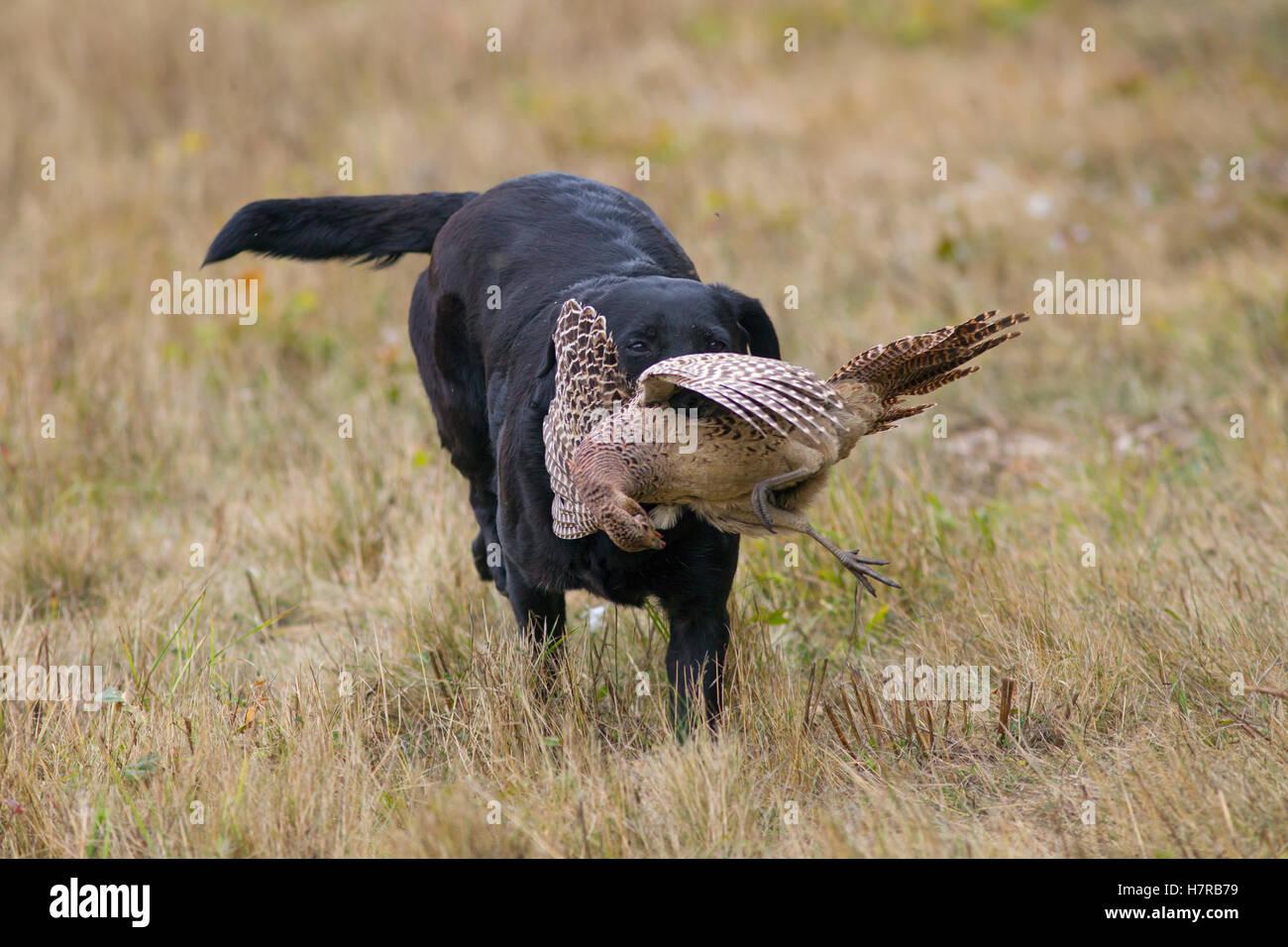 Black Labrador Retrieving Hen Pheasant On Game Shoot Mid