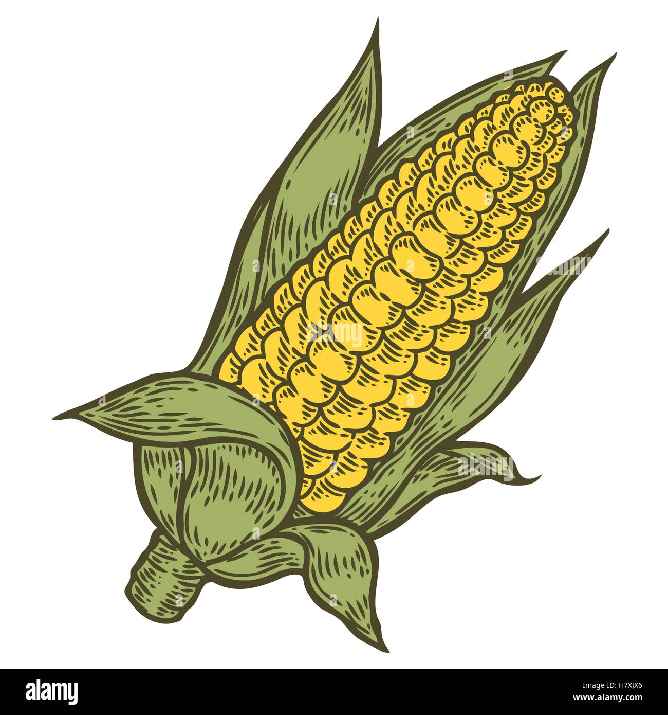 Corn cob Maize vector. Isolated on white background. Corn ...