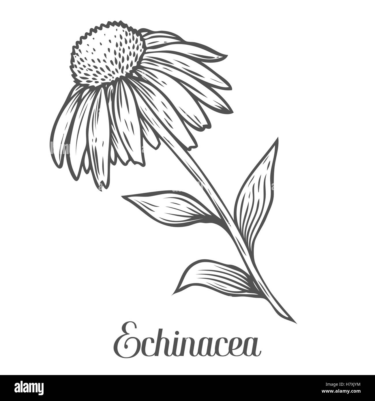 Line Drawing Coneflower : Echinacea flower leaf plant black isolated on white