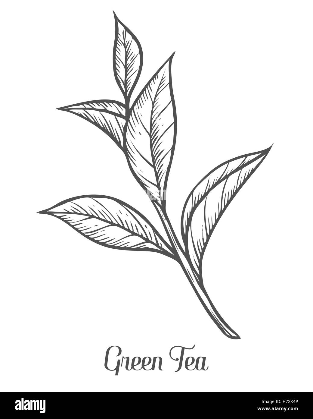 Green Flower Line Drawing : Green tea plant leaf hand drawn sketch vector