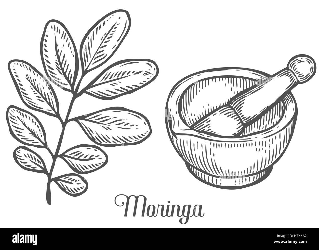 Moringa plant, leaf with mortar and pestle. Moringa vintage sketch ... for Mortar And Pestle Drawing  183qdu
