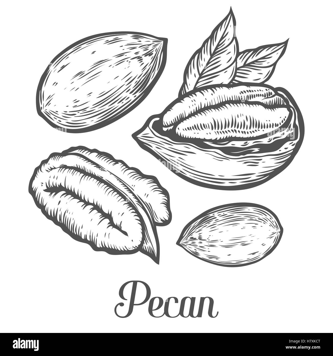 pecan nut seed vector isolated on white background pecan