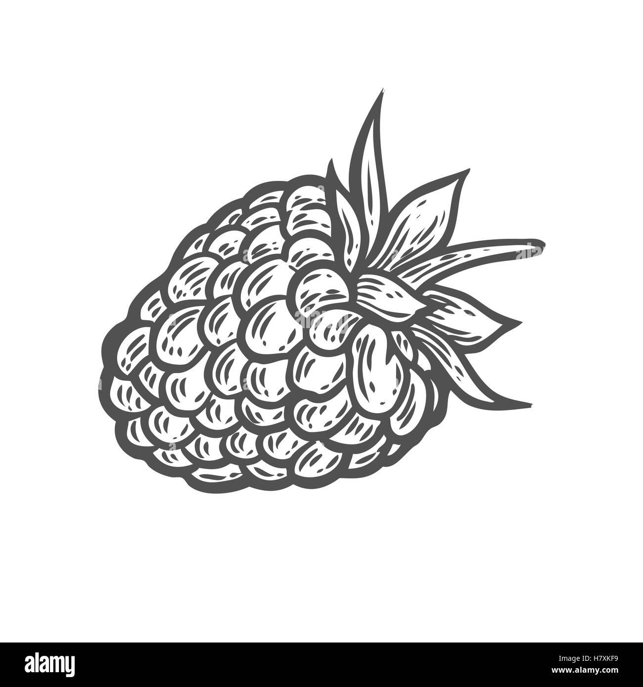 Raspberry illustration