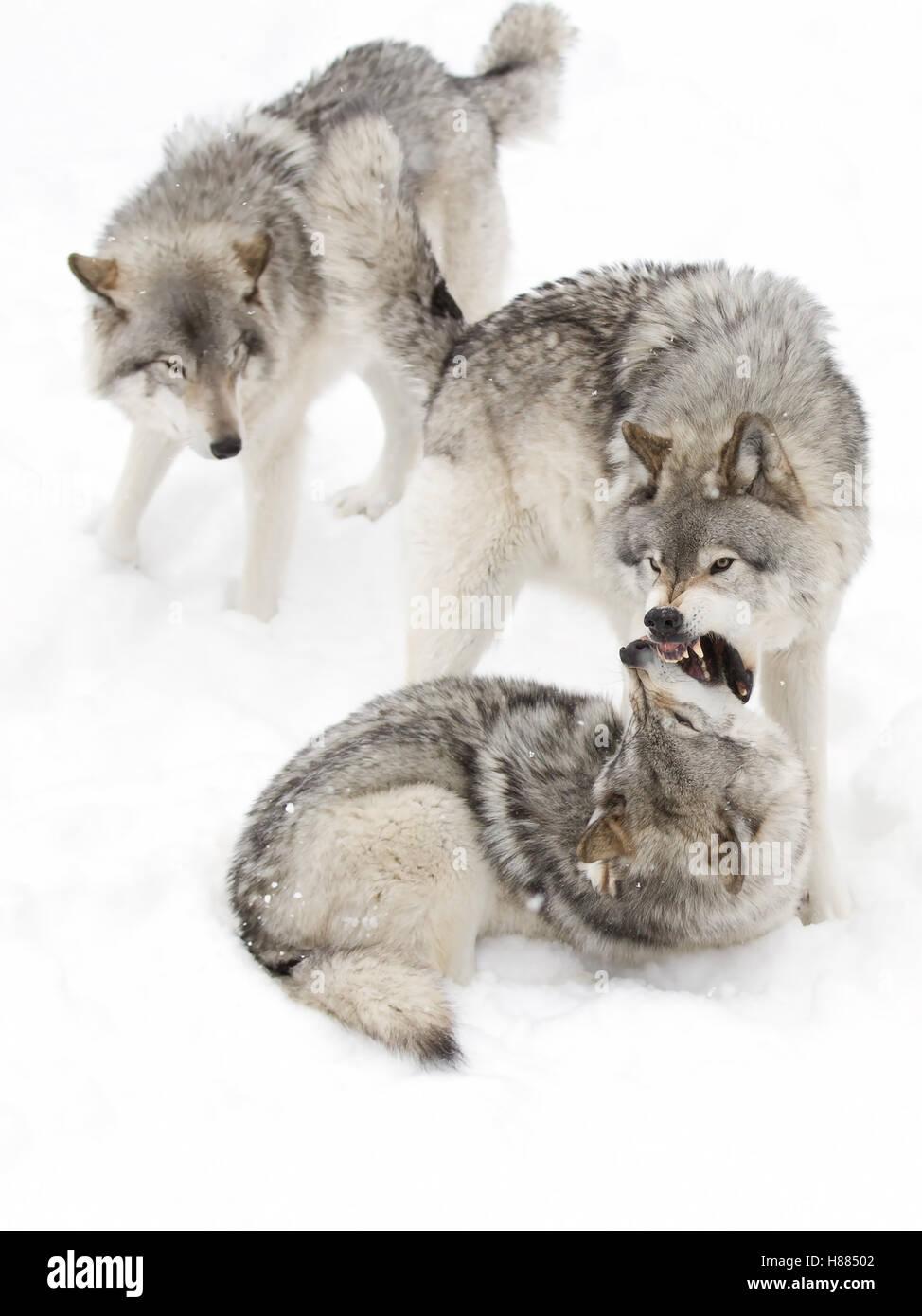 Wolf playing