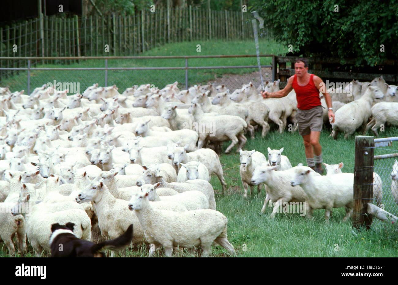 Schaffarm in Neuseeland. Key: New Zealand, Schafzucht, Schaf-Farm ...   {Herde 46}
