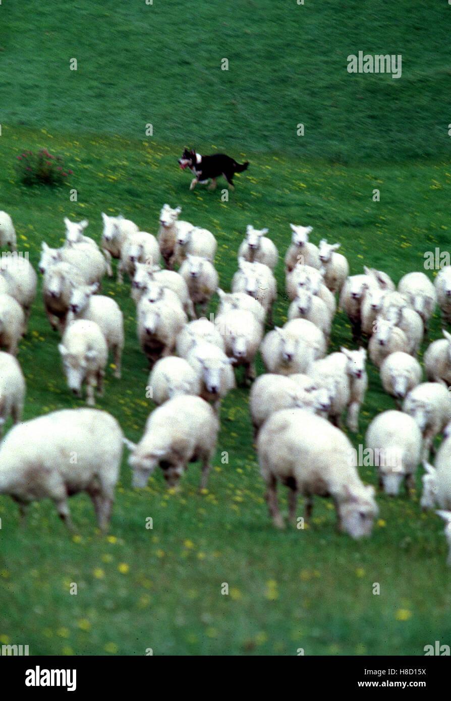 Schaffarm in Neuseeland. Key: New Zealand, Schafzucht, Schaf-Farm ...   {Herde 55}