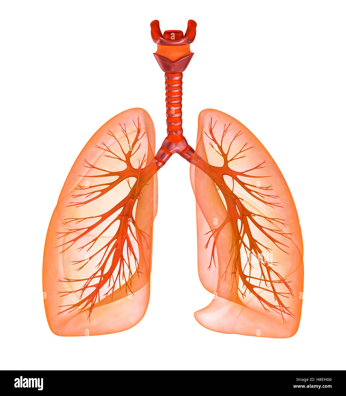 human lungs and trachea. medically accurate 3d illustration stock, Cephalic Vein