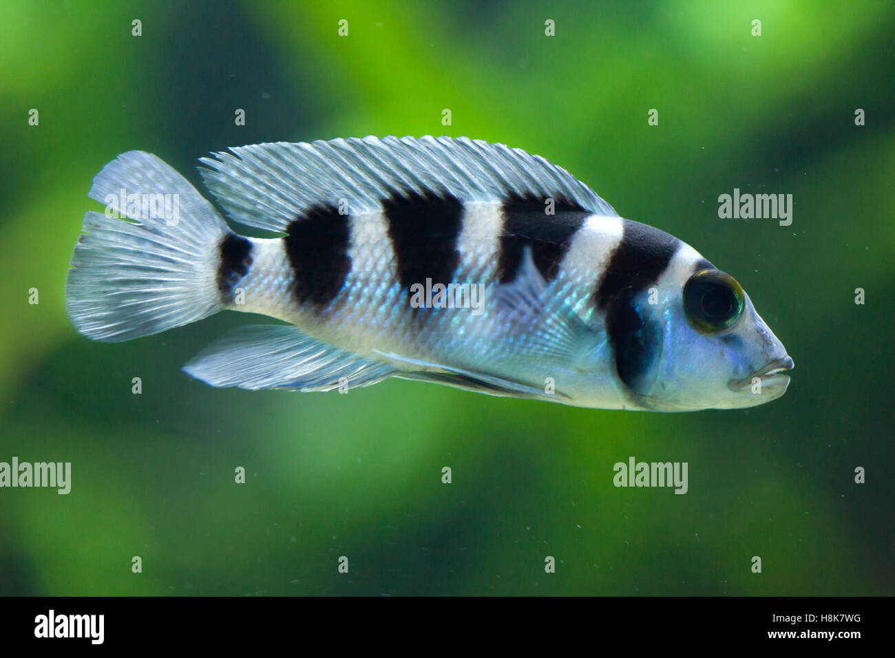 frontosa cyphotilapia frontosa also known as the humphead cichlid juvenile fish