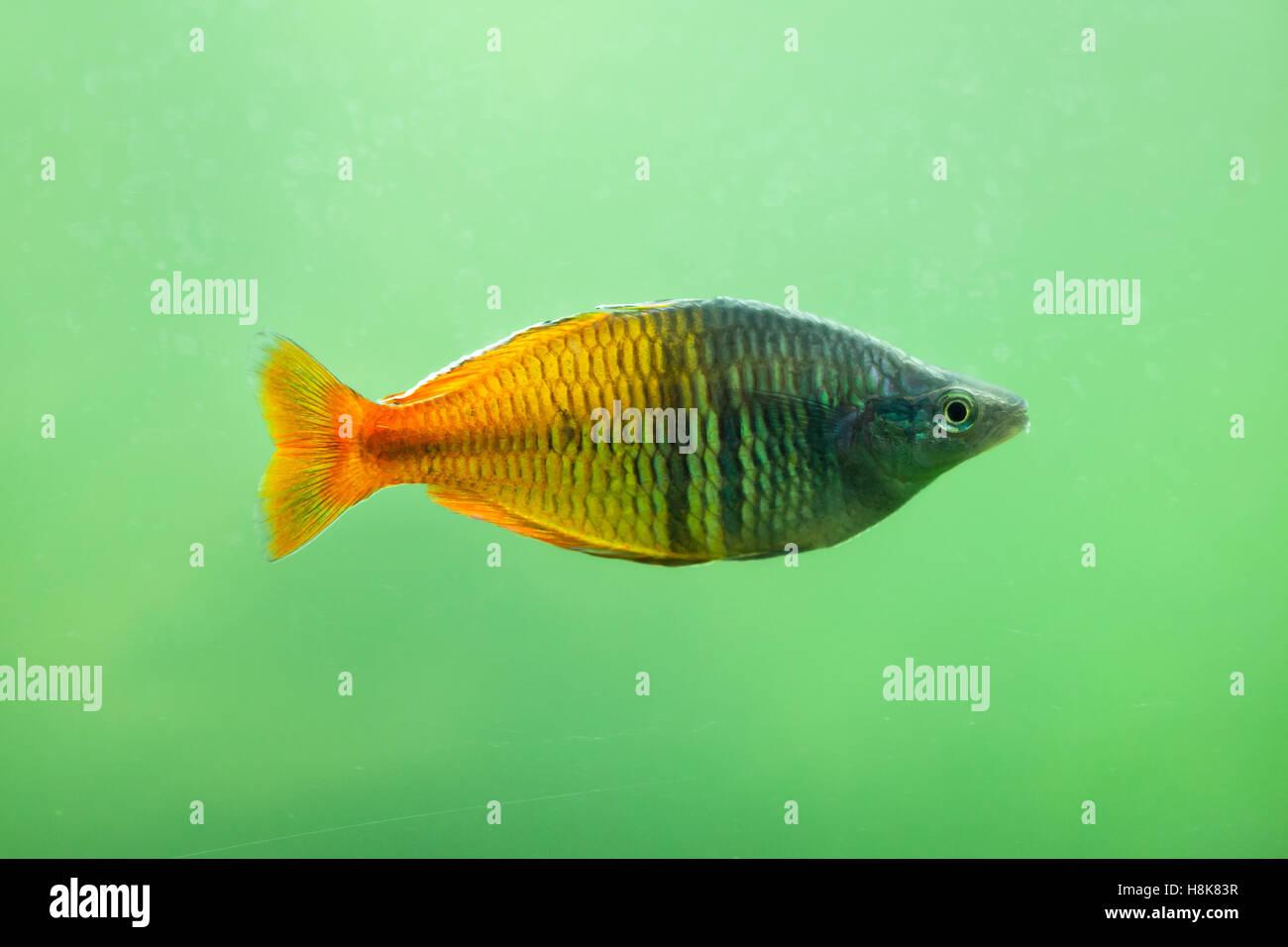 Boeseman 39 s rainbowfish melanotaenia boesemani for Kumak s fish