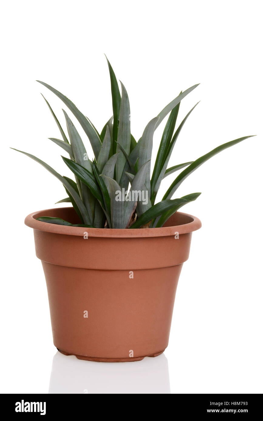 pineapple plant in a pot stock photo royalty free image