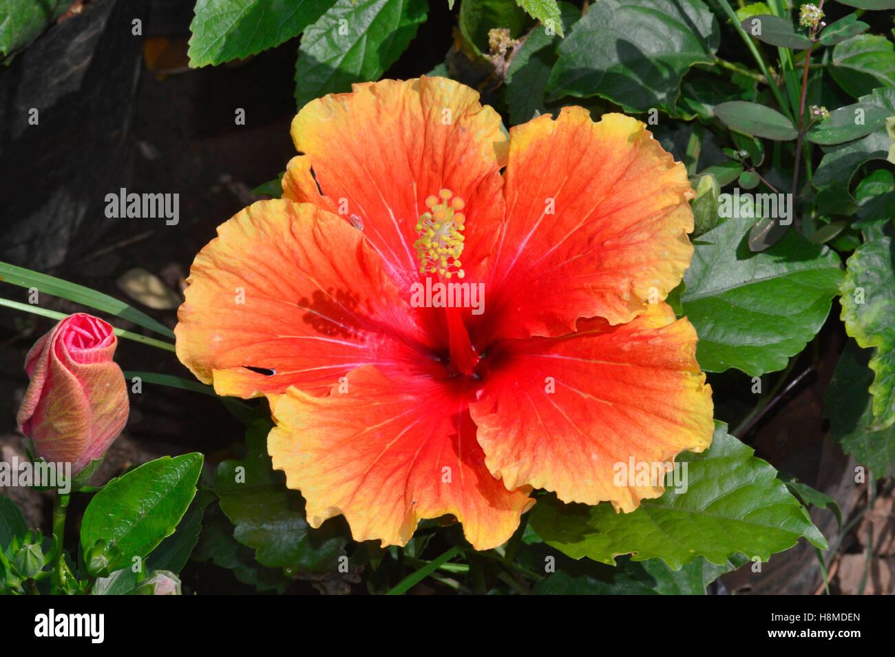 Hawaiian hibiscus flower pune stock photo royalty free image hawaiian hibiscus flower pune izmirmasajfo