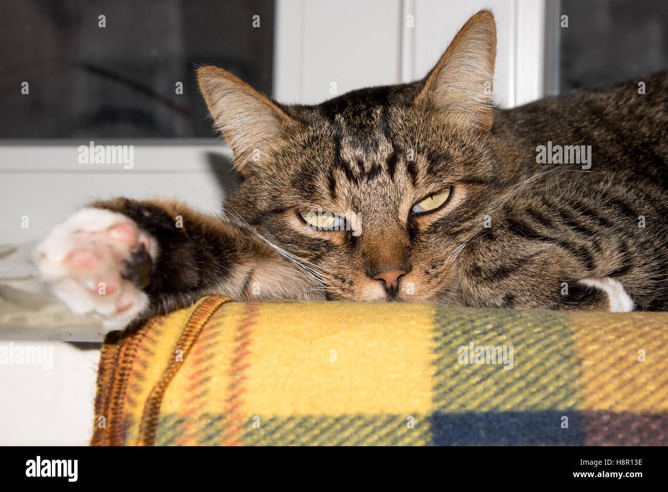 Cat resting cat on a sofa in blur background cute funny cat