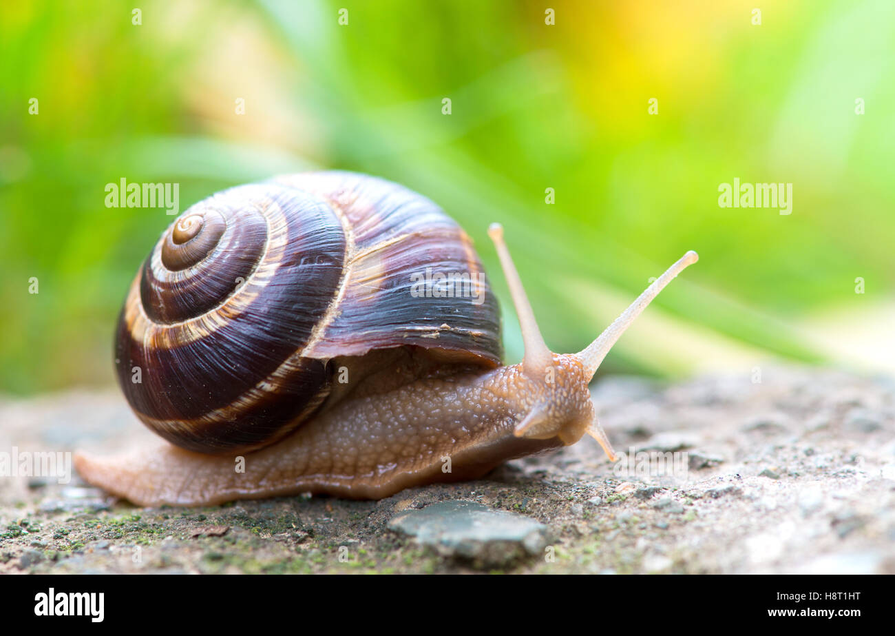 brown long big snail round shell with stripes and with long horns