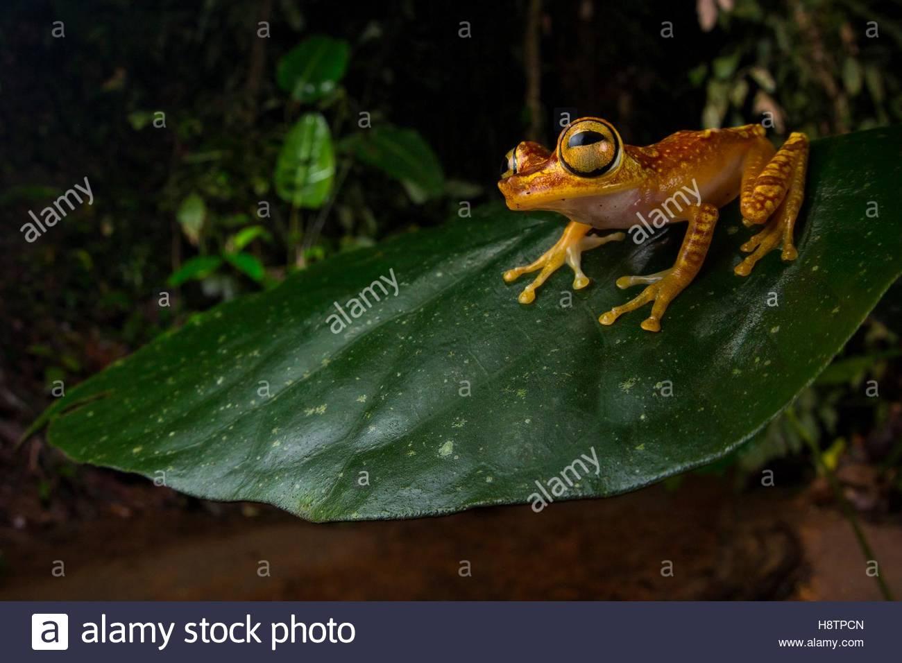 imbabura tree frog hypsiboas picturatus puerto quito ecuador