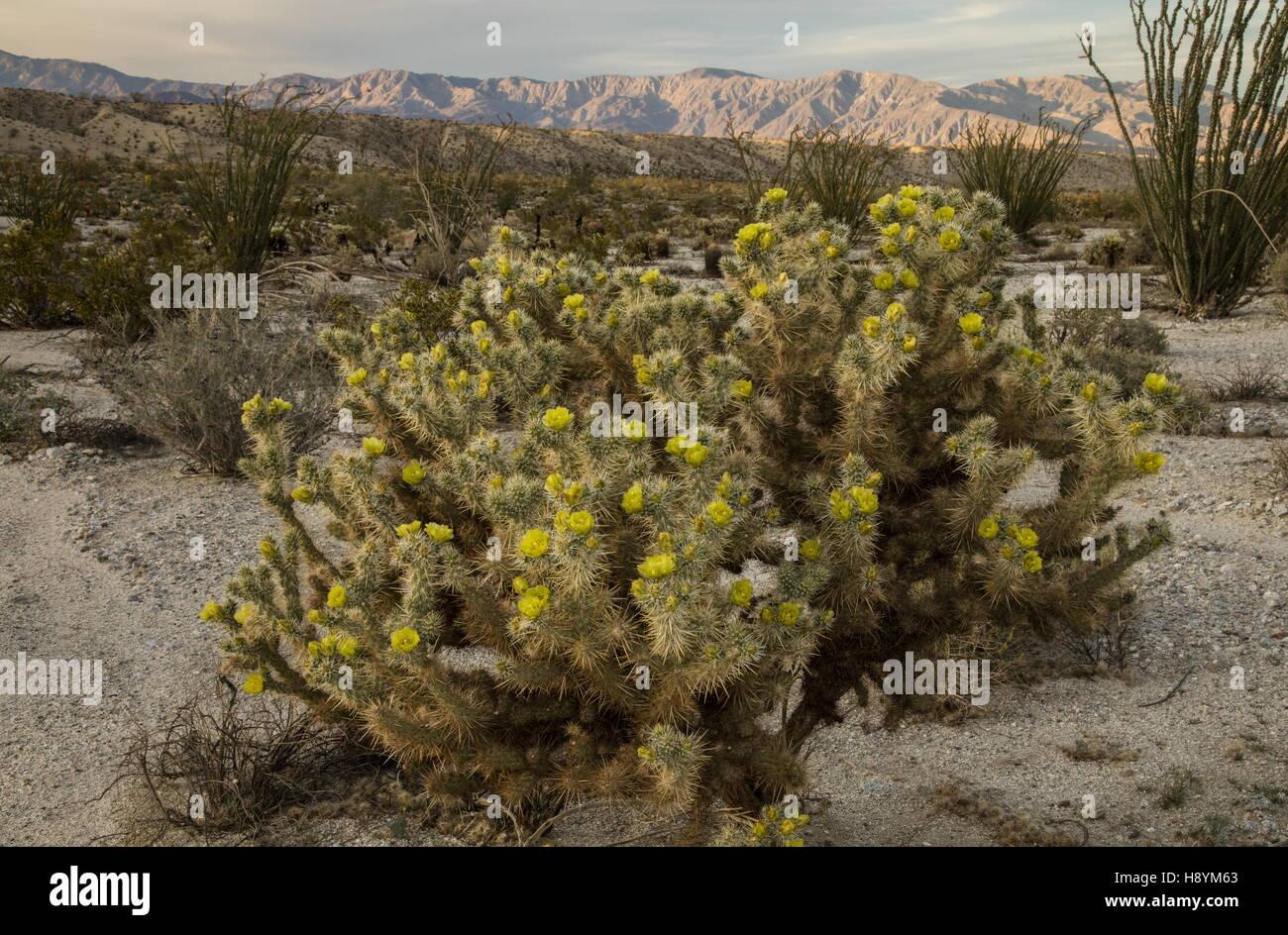 gander u0027s cholla cylindropuntia ganderi in flower anza borrego