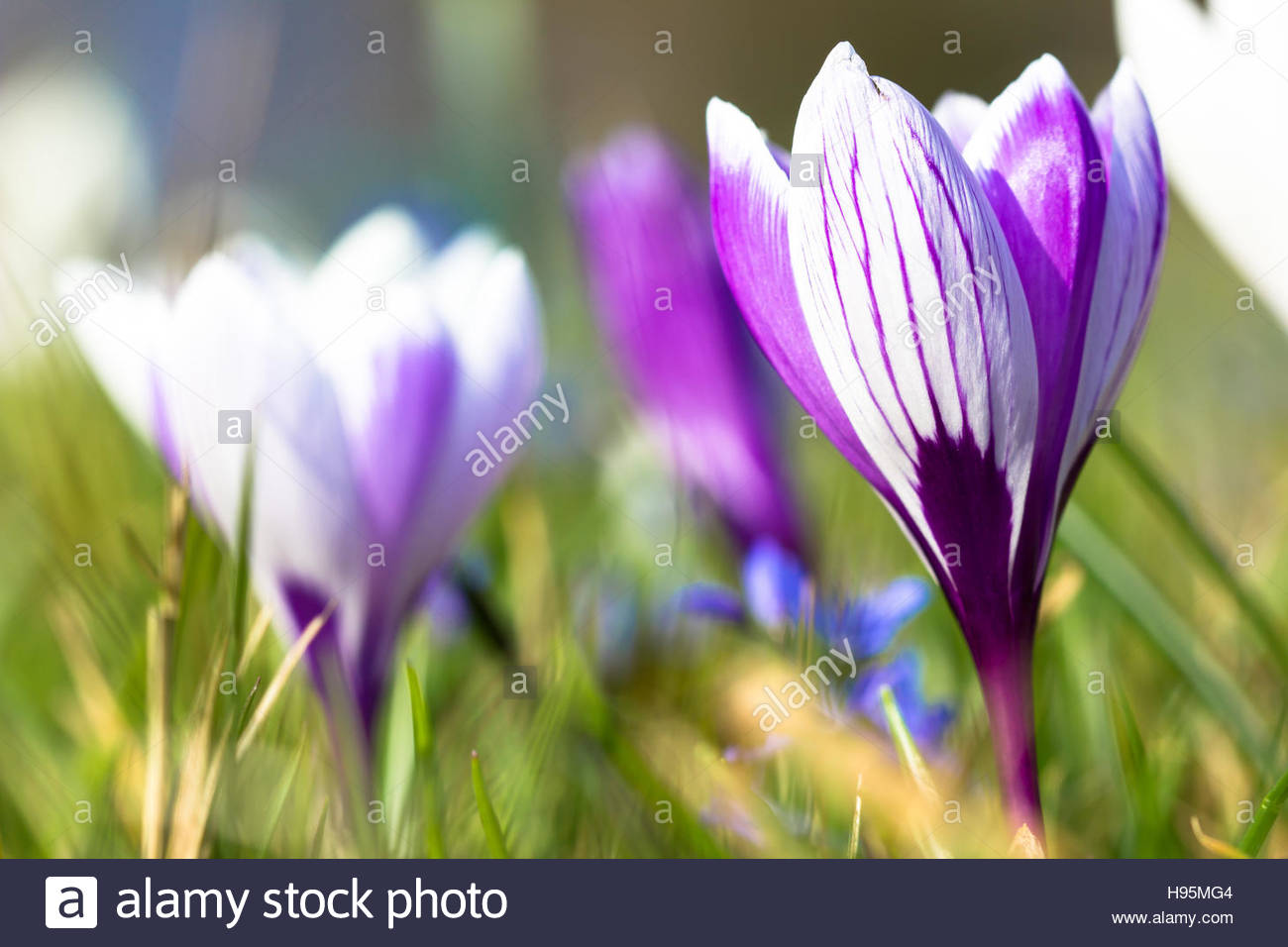 crocus meadow in spring naturalistic garden purple and white