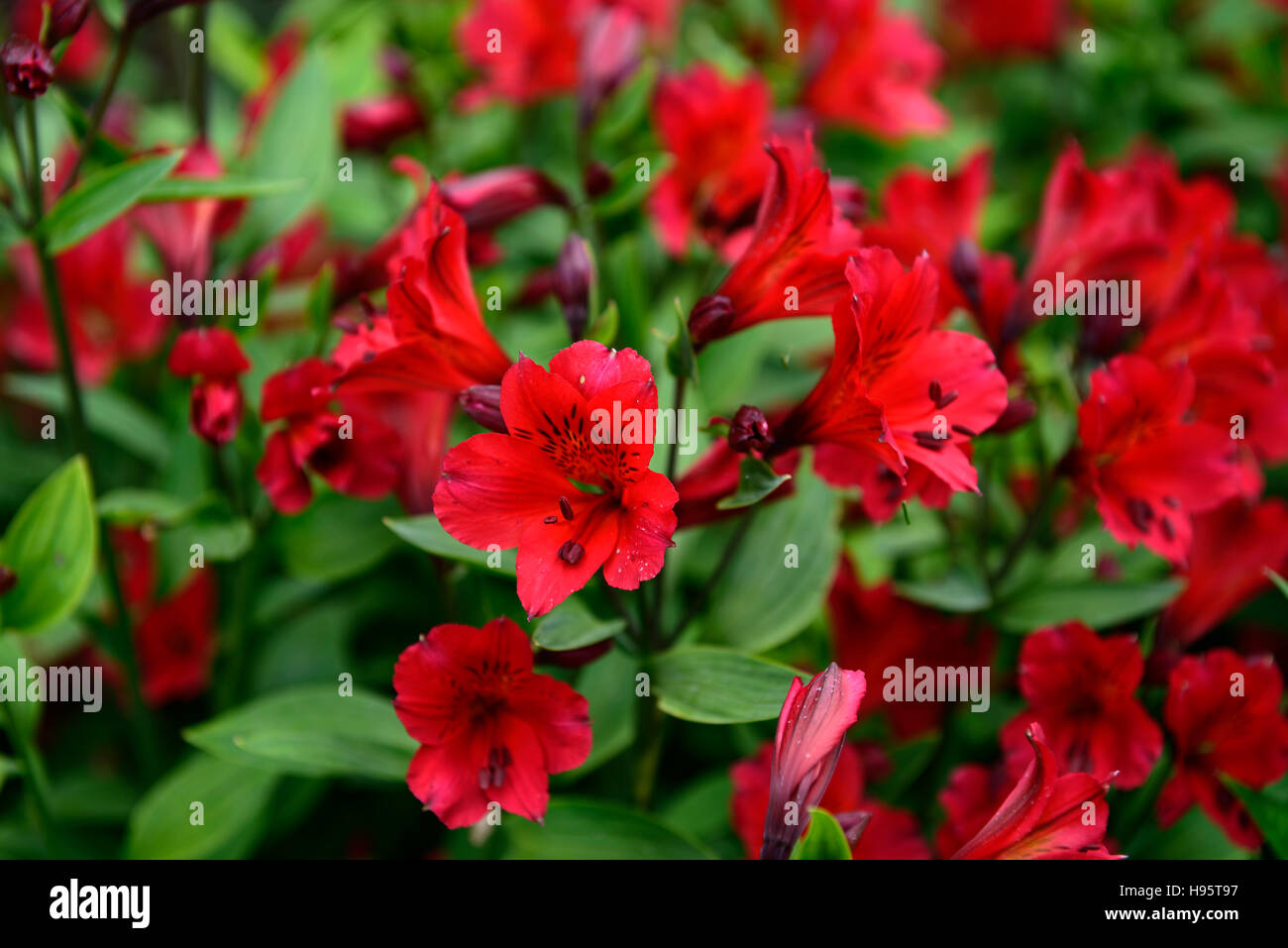 alstroemeria red elf Alstroemerias Peruvian Lilies lily red flowers Stock Pho