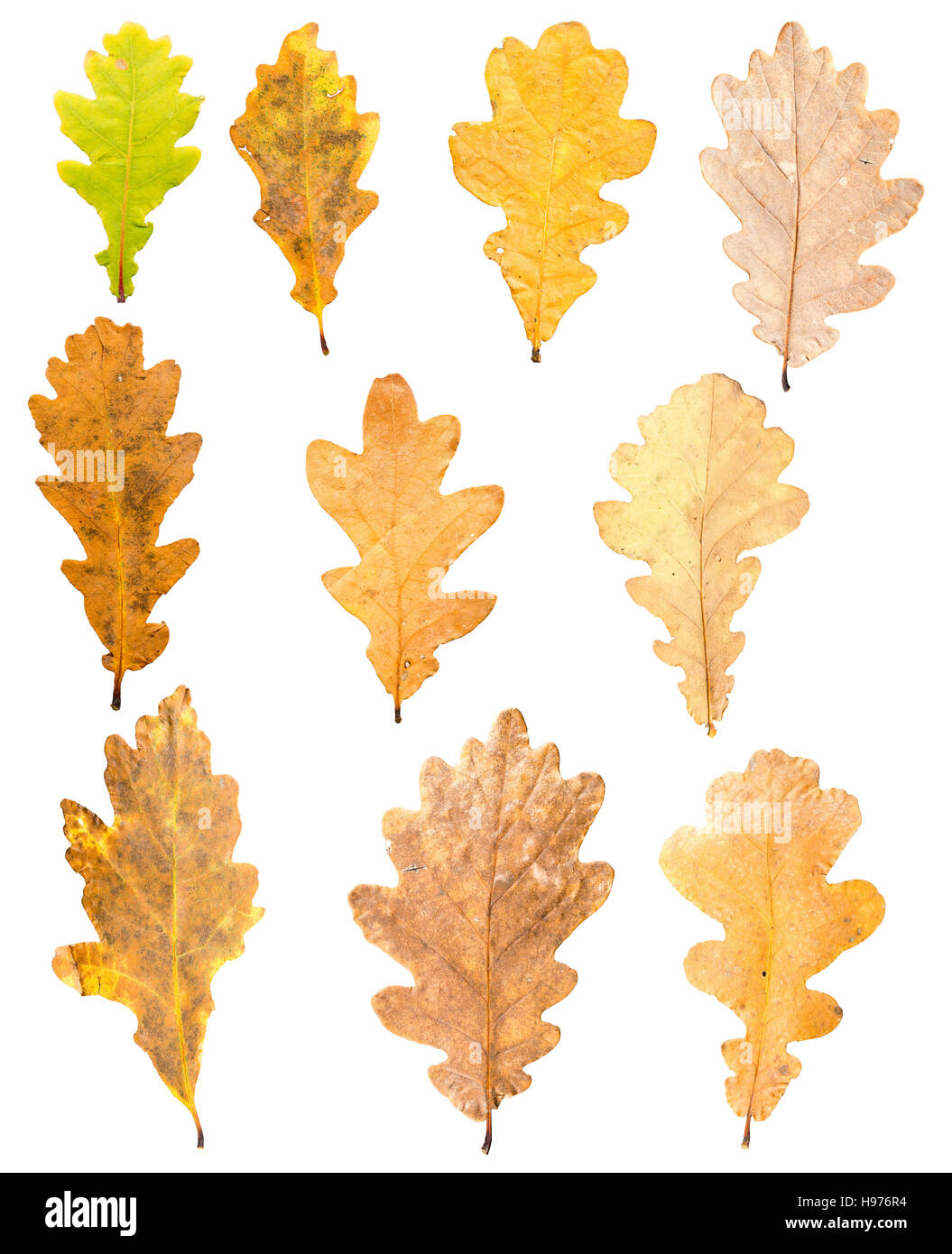 collection of oak leaves in different stades of withering isolated