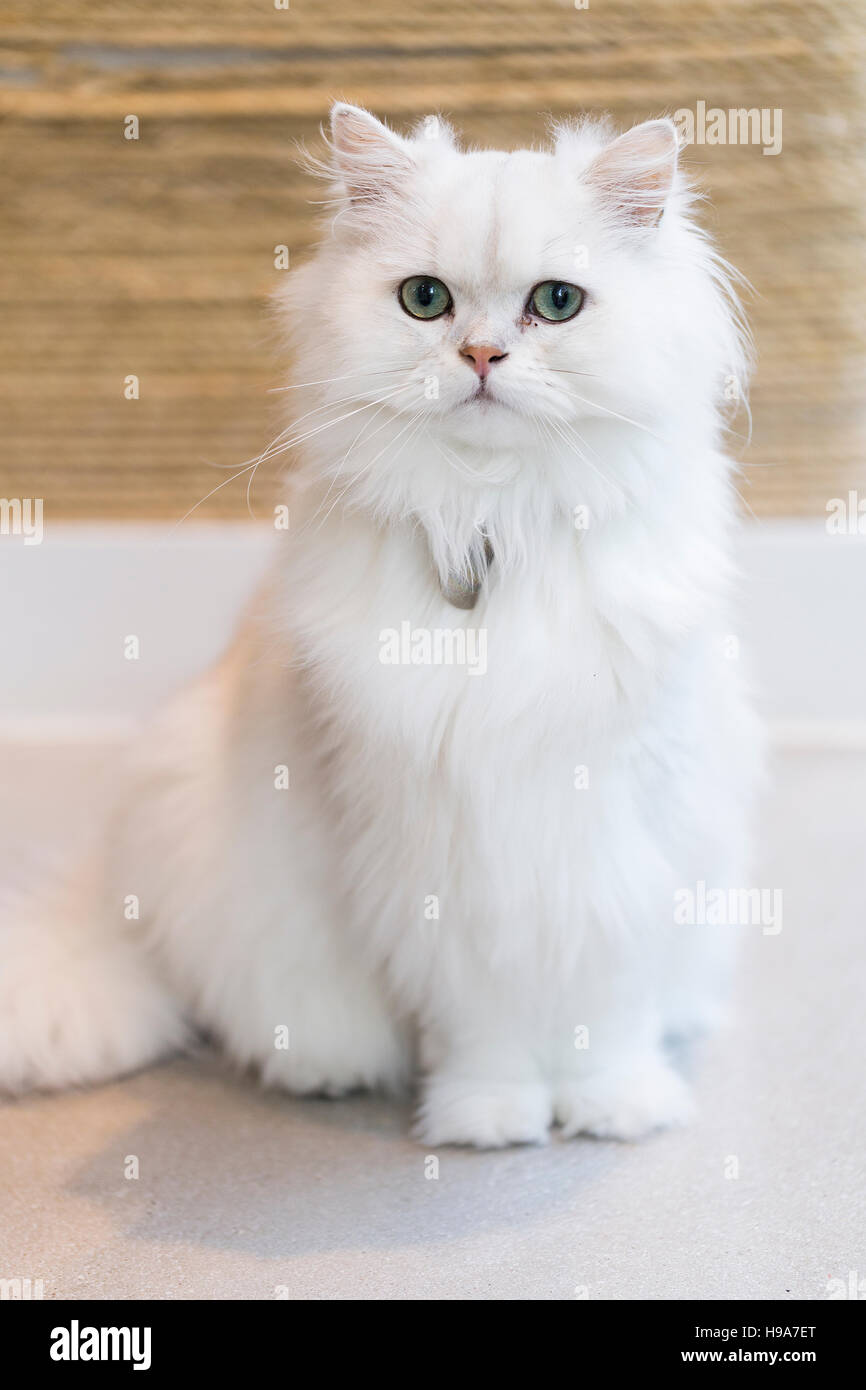 white fluffy cat with green eyes sits to attention looking important H9A7ET white fluffy cat with green eyes sits to attention looking