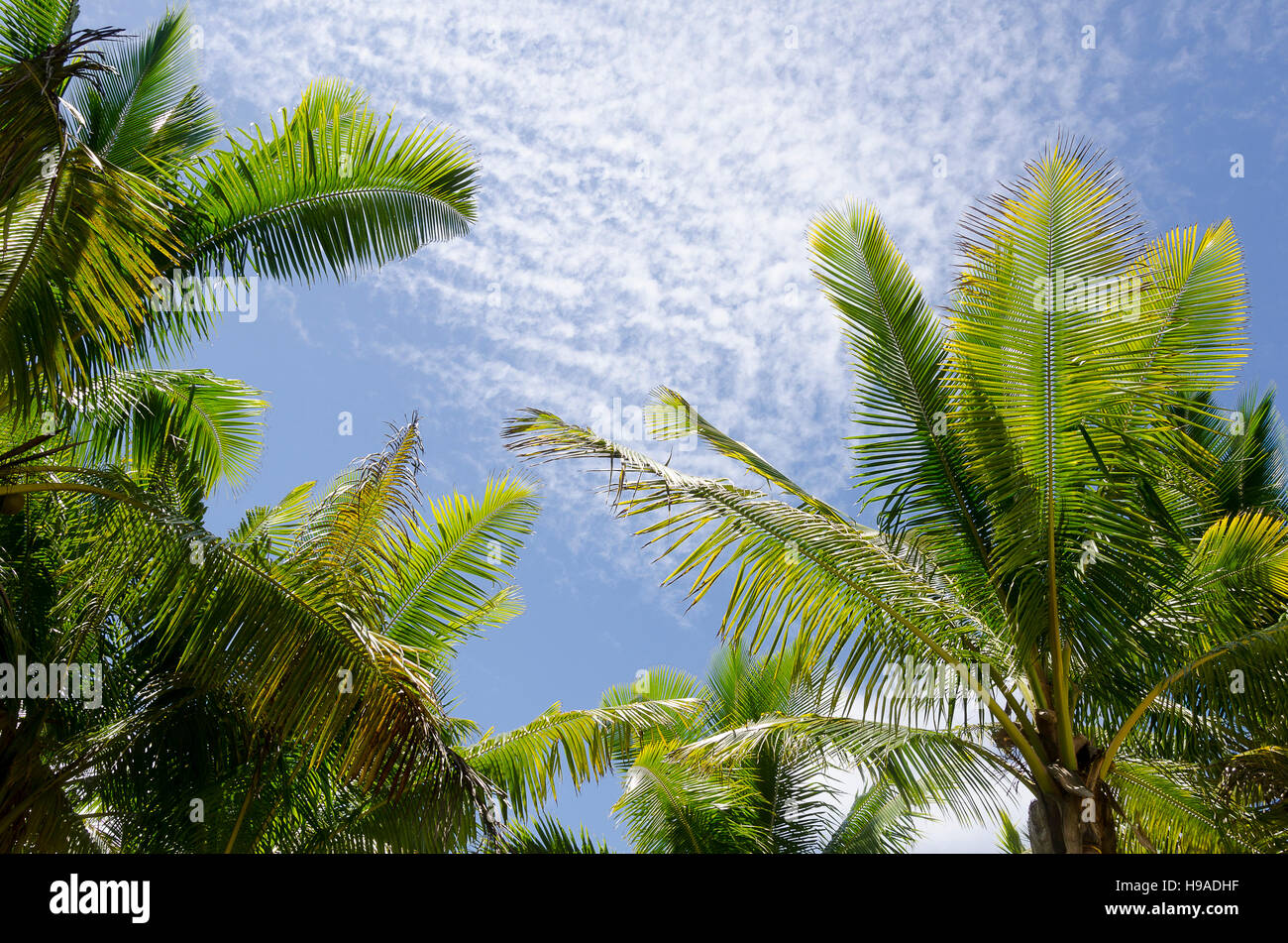 Coconut tree leaves and blue sky anaiki niue south pacific coconut tree leaves and blue sky anaiki niue south pacific oceania biocorpaavc Images