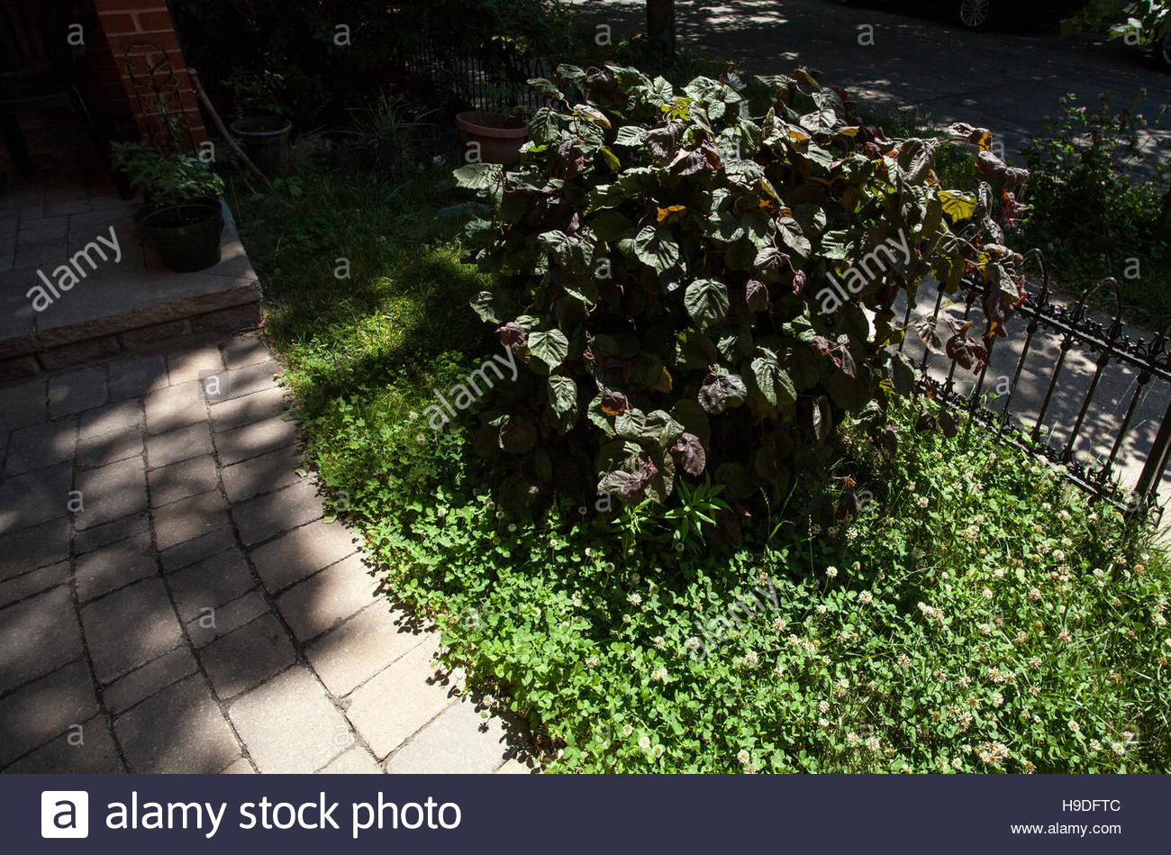 red majestic contorted filbert plant corylus avellana rosita stock photo royalty free image. Black Bedroom Furniture Sets. Home Design Ideas