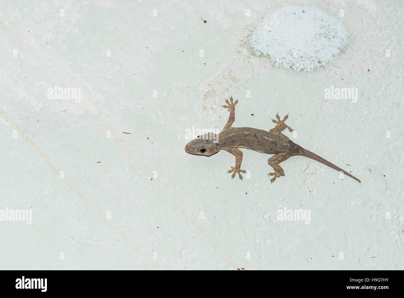 a tropical house gecko stock photo, royalty free image: 126361703