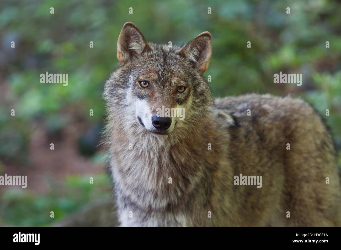 Wolf Germany wolf in the forest of the bayerische wald national park in germany