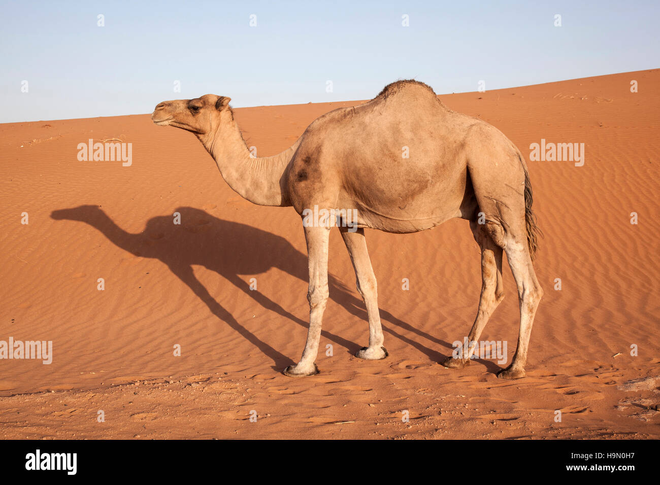 arabian camels A dozen camels have been disqualified from an annual beauty contest in saudi arabia after their trainers used botox to enhance their appearance.