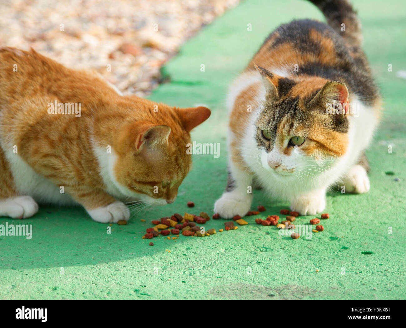 Two different color cats eating cat food on the green for Cuisine on the green