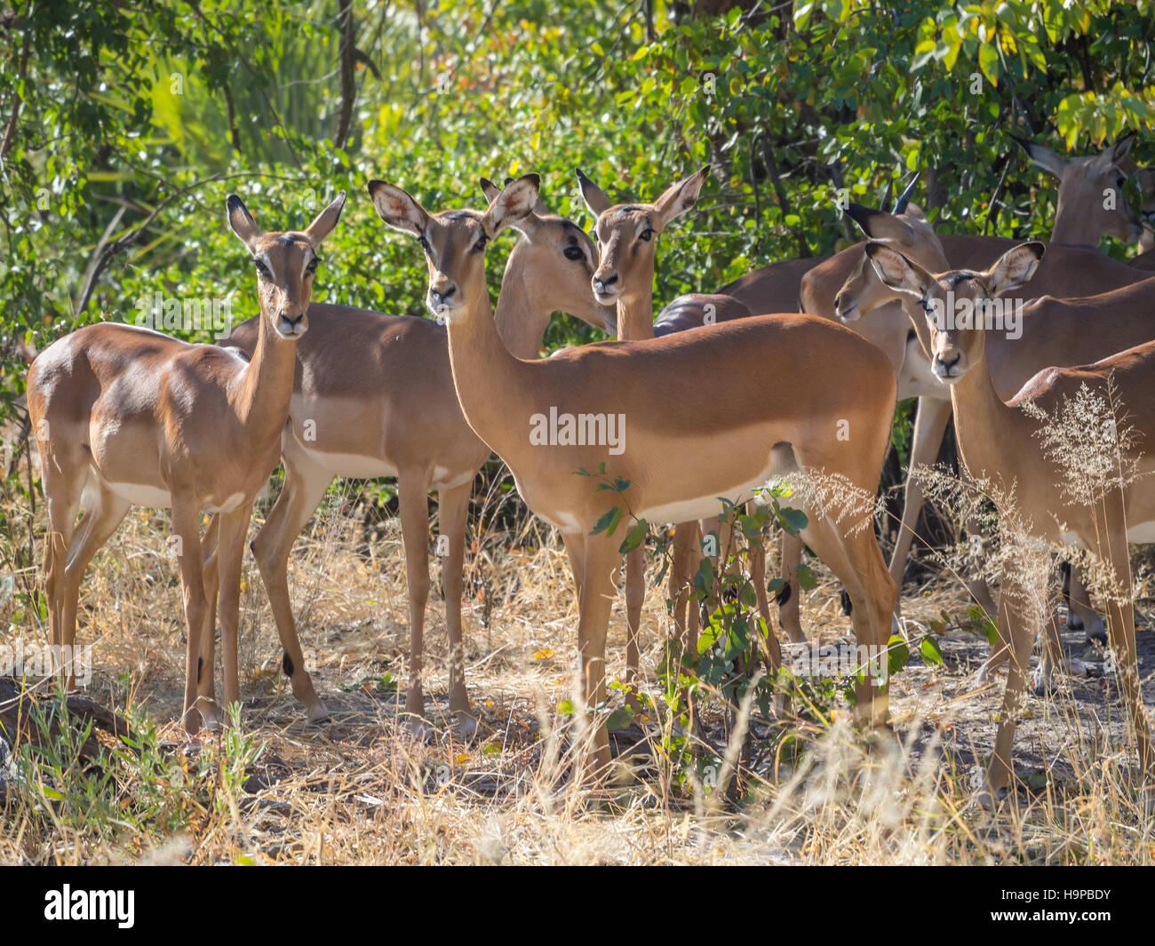 Impala ram keeps watch over herd of females
